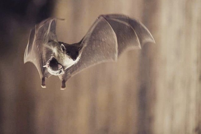 Bat image from @piusacaves Instagram page.