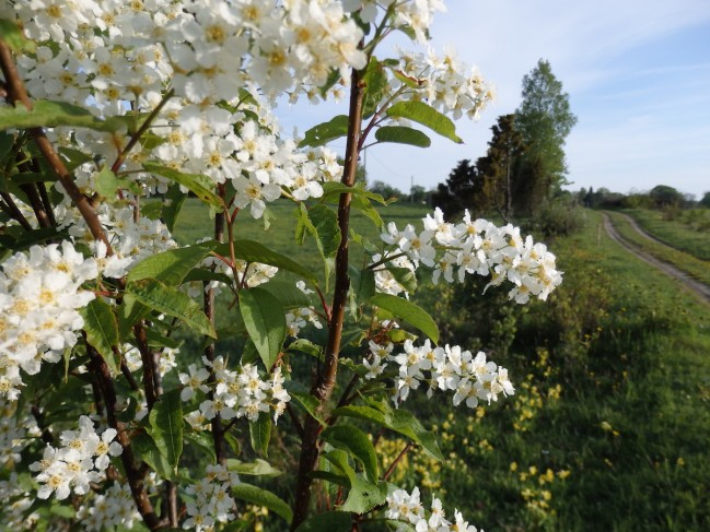 The first of the much anticipated, life-affirming and life-altering spring floral trinity to appear in Eesti is the toomingas aka toome/puu. A very revered, much sung and written about shrub to tree (8-16 m tall), it is a species of wild cherry, native to northern Europe and n. Asia, south of the Arctic Circle. Its English names are bird cherry, hackberry and Mayday tree (Prunus padus) and although it's sold as an ornamental plant in North America, it's not the star it is in Europe. I never knew what all the fuss was about or even what it was when I still lived in Toronto. Photo: Riina Kindlam (2017)